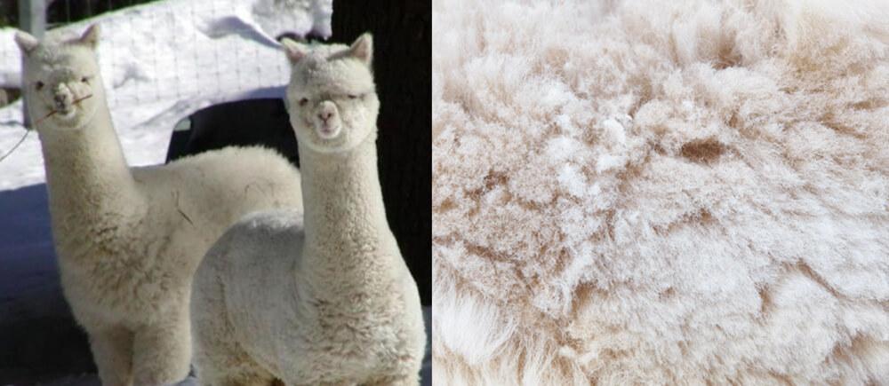 TRECA Paris國際頂級床墊原料 幼羊駝絨